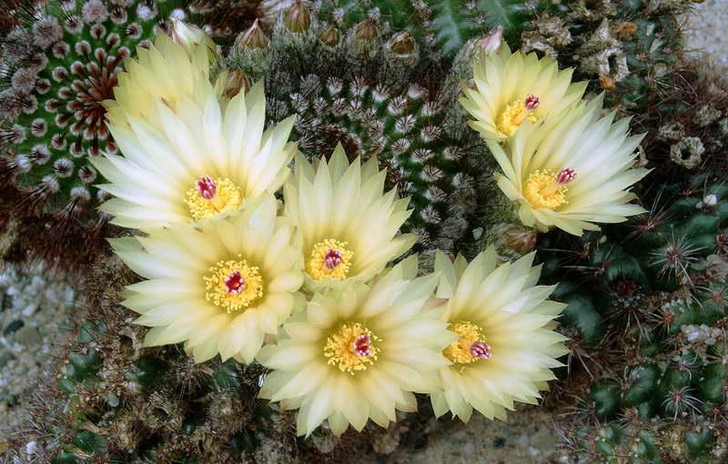 Нотокактус стройный Notocactus concinnus или нотокактус солнечный Notocactus apricus фото