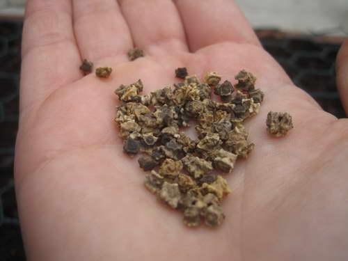 Нужно ли замачивать семена свеклы перед посевом