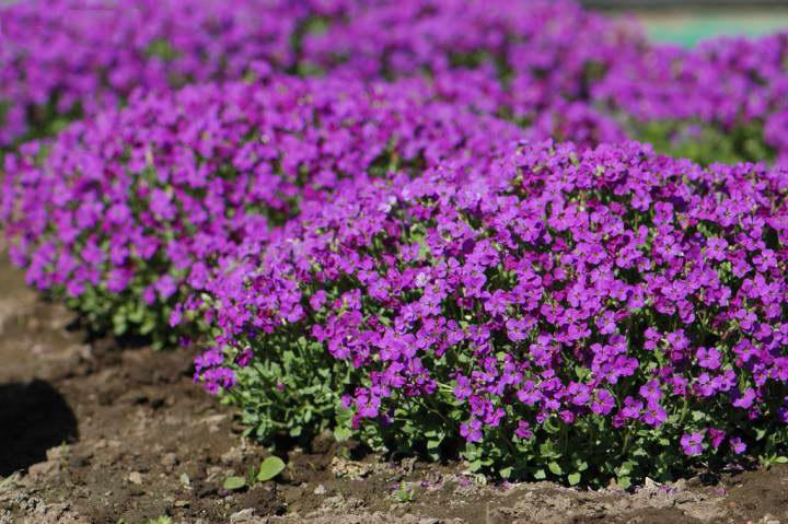 Обриета гибридная Aubrieta x cultorum Cascade Purple фото