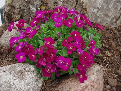 Обриета культурная или обриета гибридная Aubrieta x cultorum Red Carpet фото