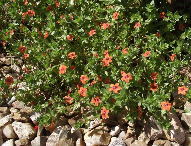 Очный цвет в каменистом садике фото