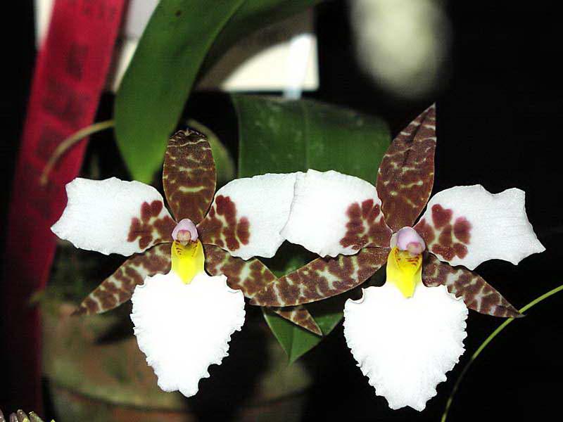 Одонтоглоссум Роса Odontoglossum rossii фото