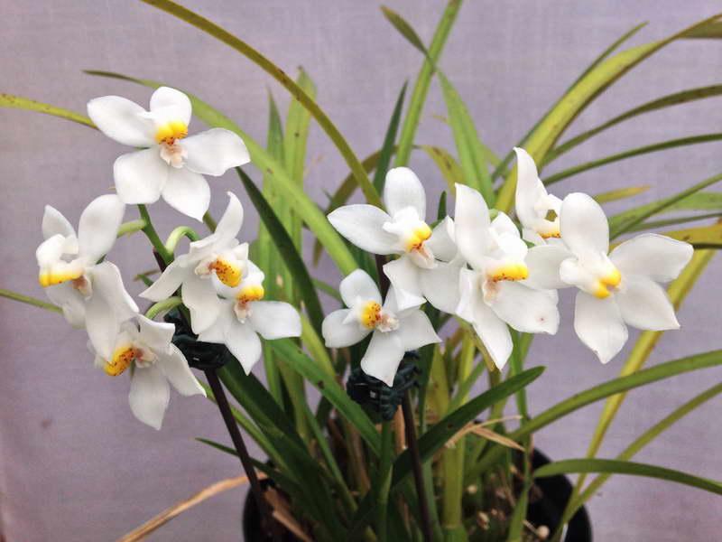 Одонтоглоссум красивый или хорошенький Odontoglossum gloriosum фото