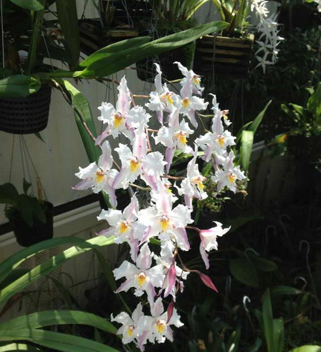 Одонтоглоссум кудрявый Odontoglossum crispum фото