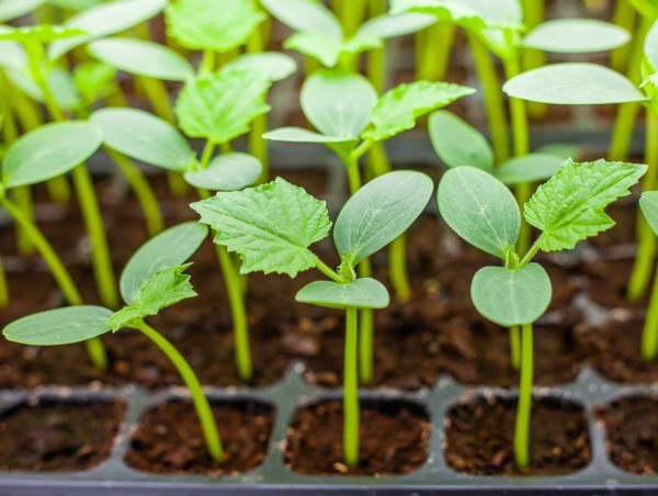 Огурцы посадка семян на рассаду фото