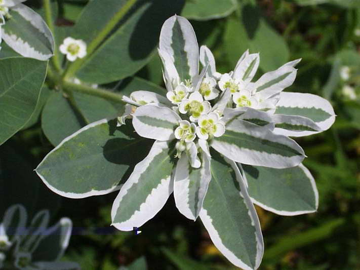 Окаймленный молочай Euphorbia marginata фото