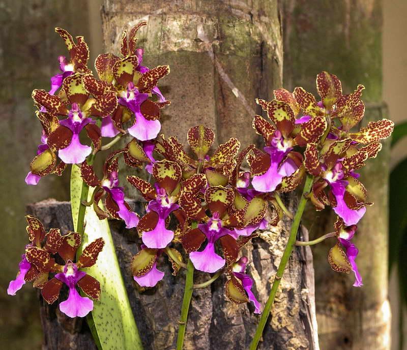 Онцидиум Ланца Oncidium lanceanum фото