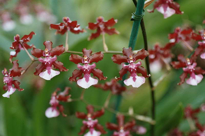 Онцидиум Шерри беби Oncidium ornithorhynchum Sharry Baby фото