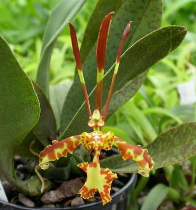 Онцидиум мотыльковый Oncidium papilio фото