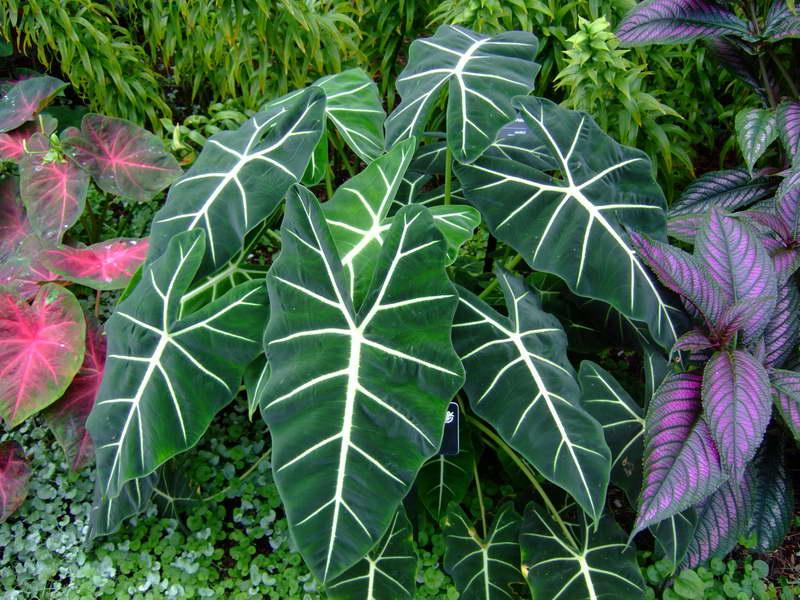 Опасные растения в доме Алоказия