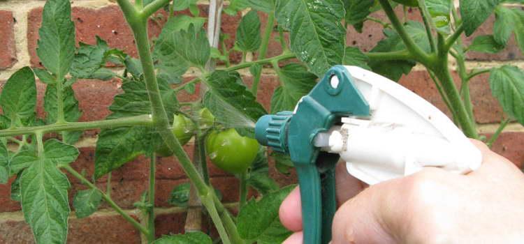Опрыскивание помидоров борной кислотой пропорции