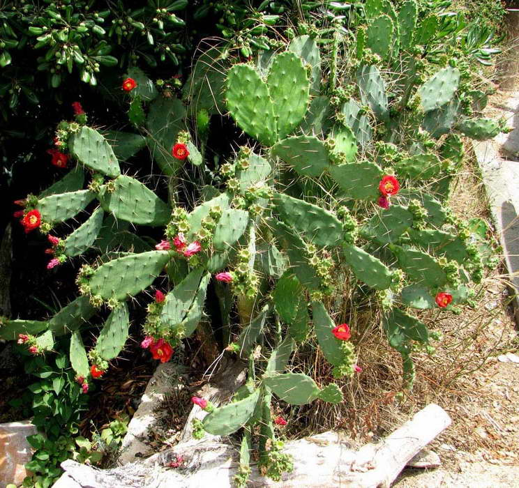 Опунция Бергера Opuntia bergeriana фото