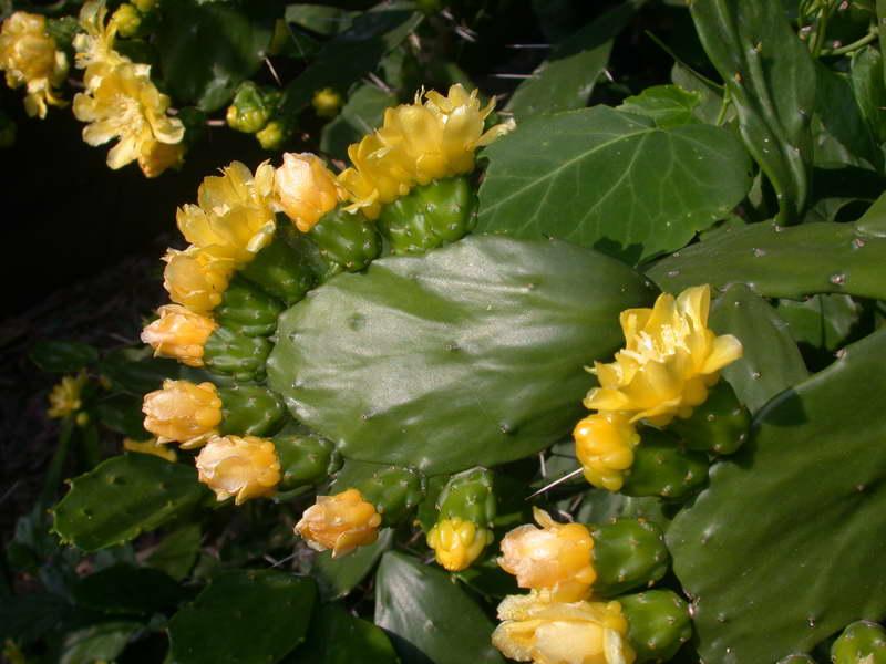 Опунция бразильская Brasiloopuntia brasilensis фото