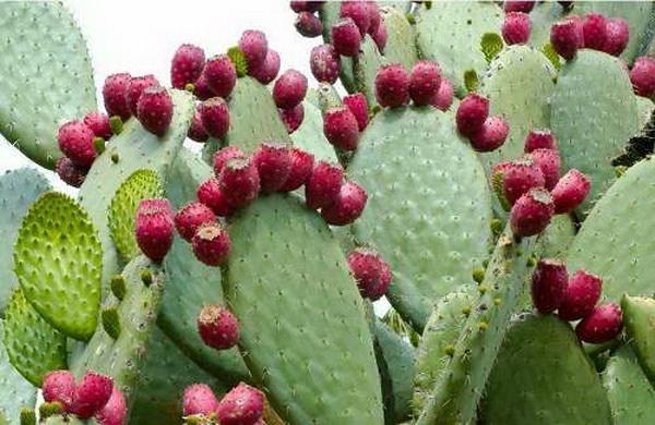 Опунция индийская или инжирная Opuntia ficus-indica фото