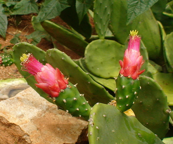 Опунция кошениленосная Opuntia cochenillifera