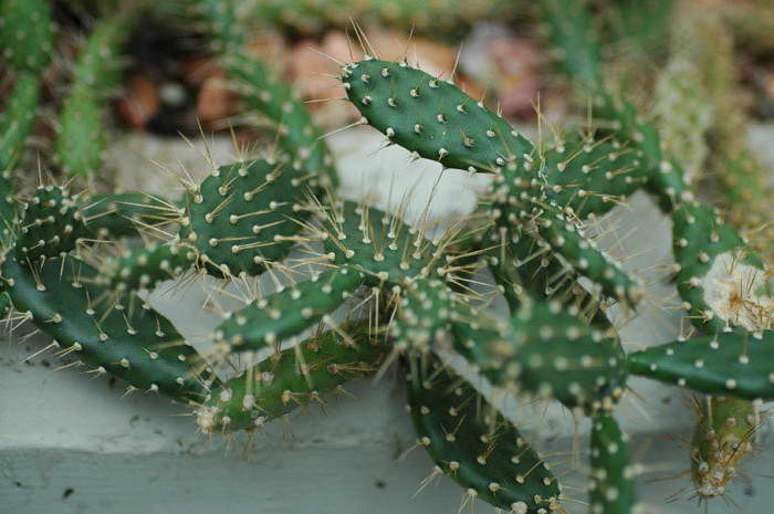 Опунция кюрасавская Opuntia curassavica фото