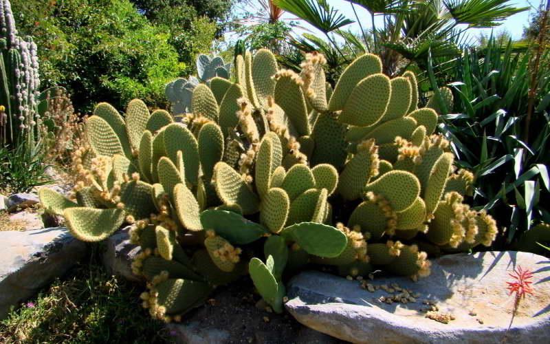 Опунция шери Opuntia scheerii фото