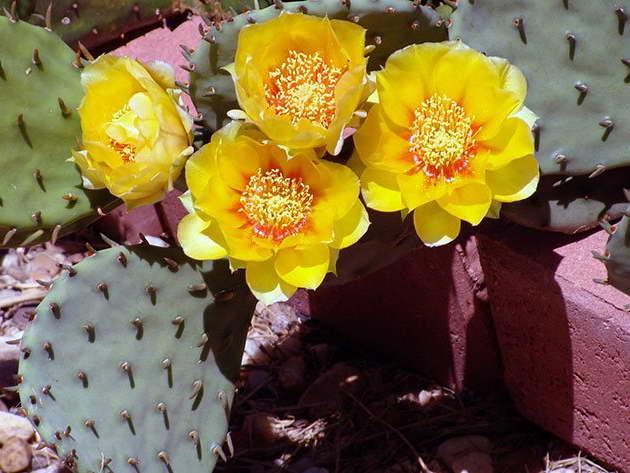 Опунция сжатая Opuntia compressa фото