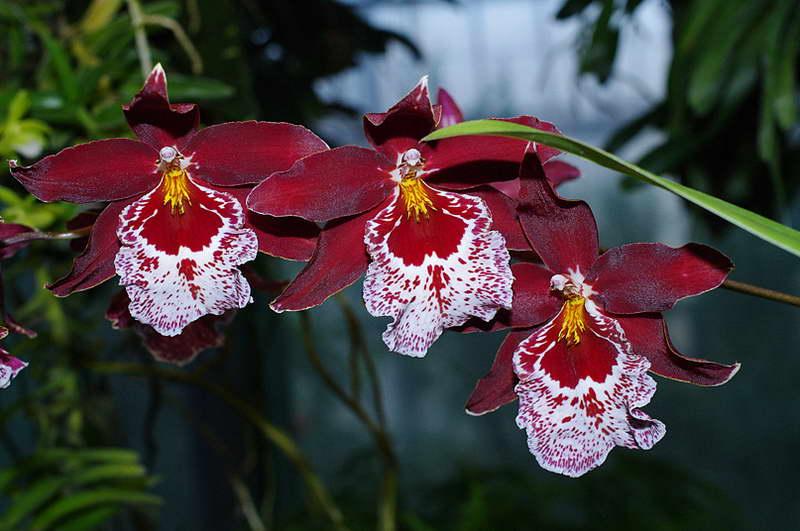 Орхидея Камбрия Вуилстекеара фото