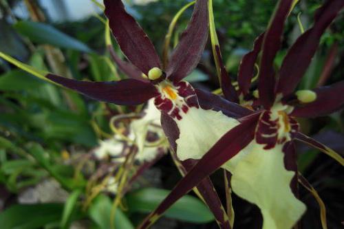 Орхидея Мильтассия orchid Miltassia