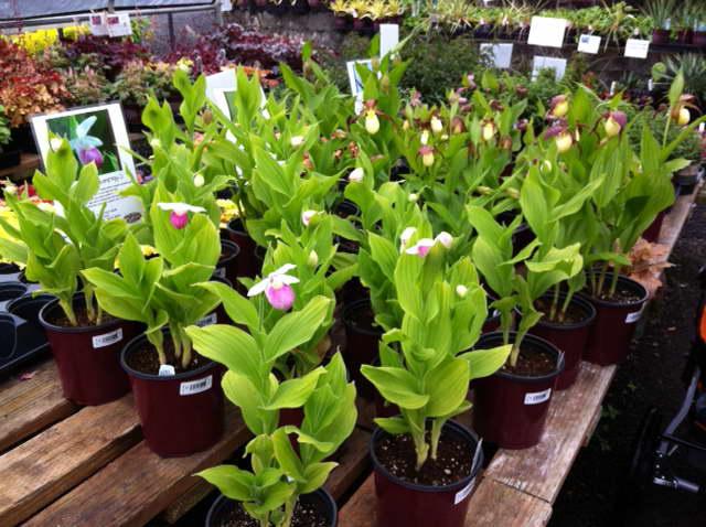 Орхидея башмачок после покупки как ухаживать