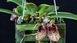 Орхидея бульбофиллум фрости посадка уход полив фото цветов
