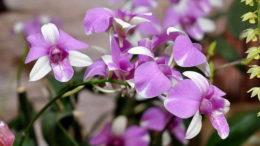 Орхидея дендробиум фото Уход в домашних условиях и размножение