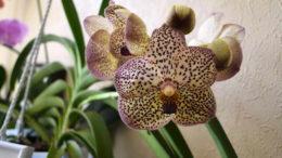 Орхидея гибридная аскоценда уход в домашних условиях фото
