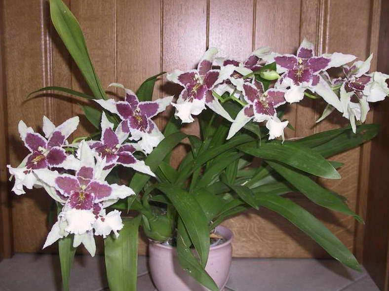 Орхидея камбрия Беаллара фото