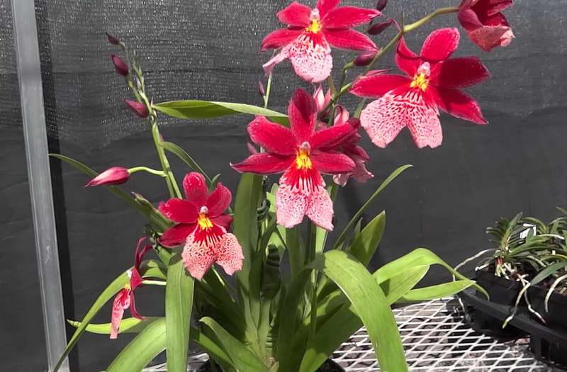 Орхидея камбрия Буррагеара фото