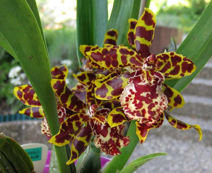 Орхидея камбрия Колманара фото