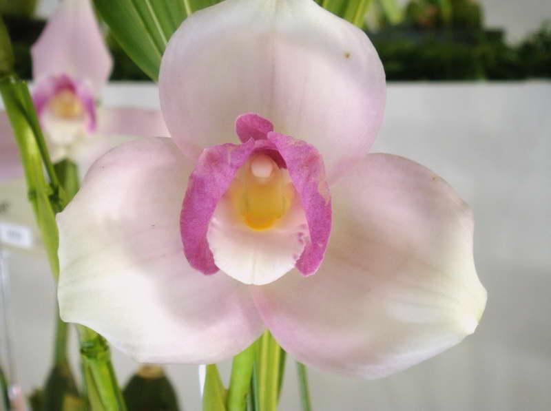 Орхидея ликаста Lycaste Sunray Kyokomachi фото