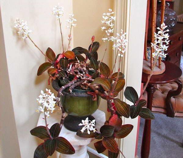 Орхидея лудизия дисколор в домашних условиях фото