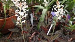 Орхидея лудизия уход в домашних условиях фото цветов