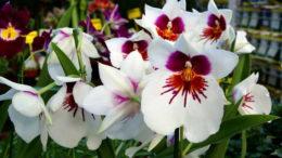 Орхидея мильтония уход в домашних условиях советы и фото