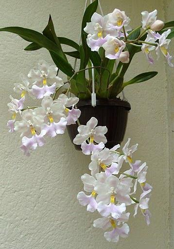 Орхидея одонтоглоссум фото в домашних условиях