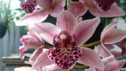 Орхидея цимбидиум уход в домашних условиях фото цветов