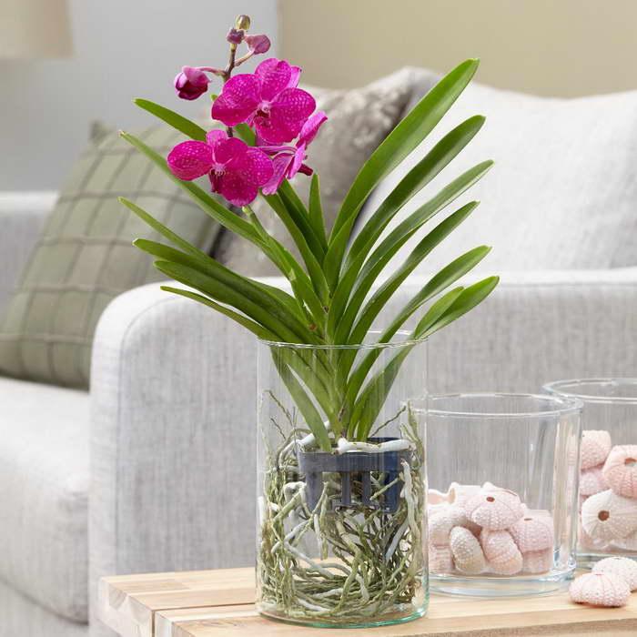 Орхидея ванда как ухаживать в домашних условиях фото