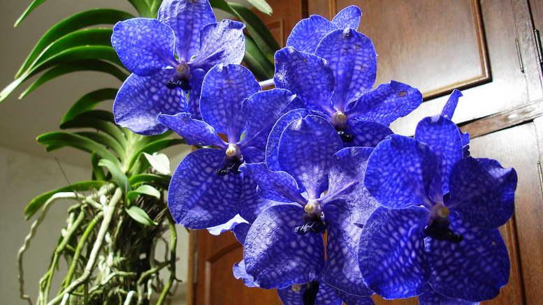 Орхидея ванда уход и выращивание в домашних условиях фото