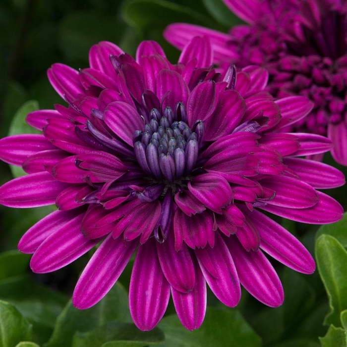 Остеоспермум Osteospermum 3D Purple фото