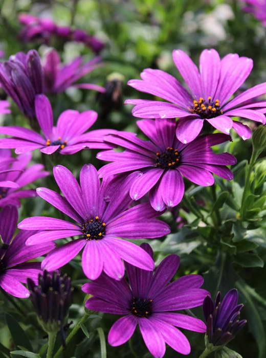 Остеоспермум Osteospermum Impassion Purple фото
