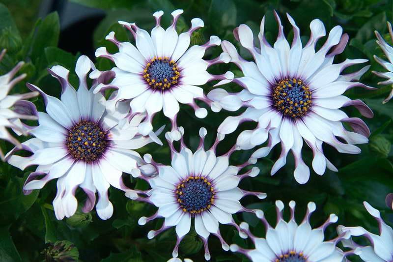 Остеоспермум Санни Филип Osteospermum 'Sunny Philip' фото