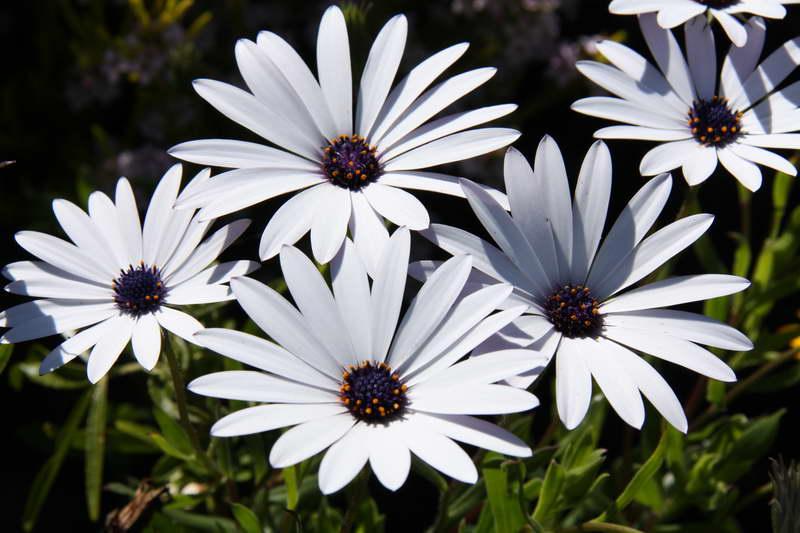 Остеоспермум белый Айс вайт Osteospermum ice white фото