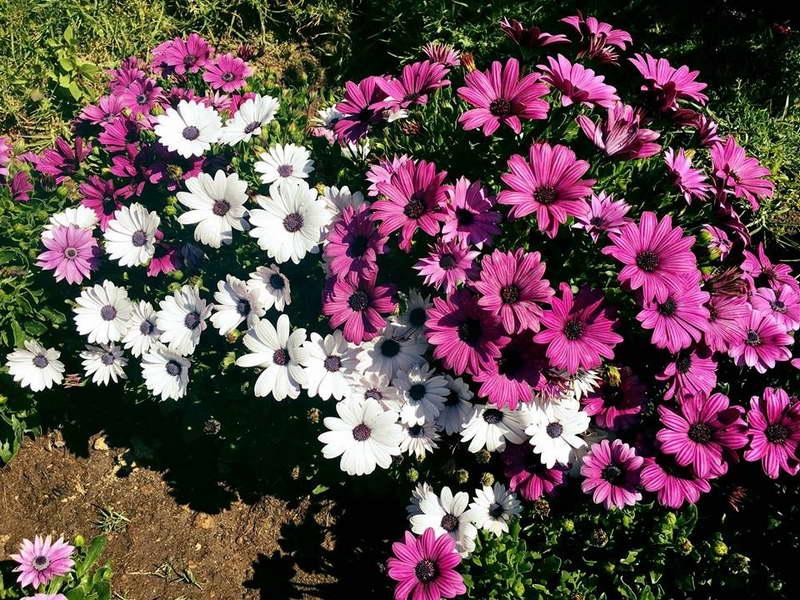 Остеоспермум фото цветов на клумбе