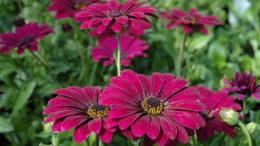 Остеоспермум выращивание из семян в домашних условиях Фото цветов