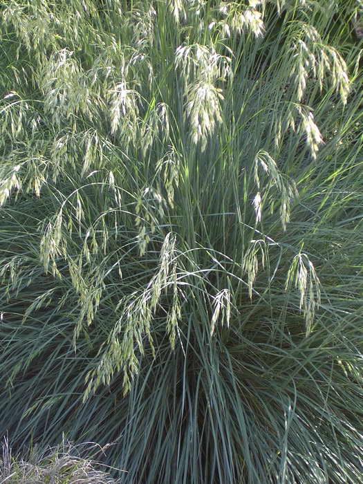 овсец вечнозеленый фото использует символы, картинки