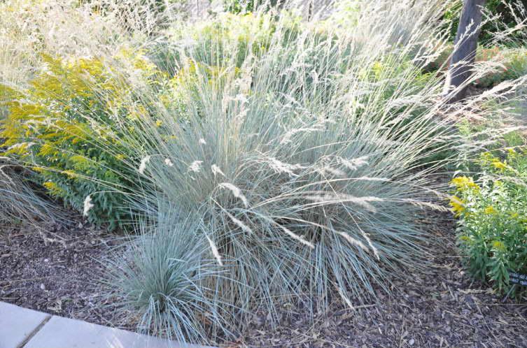 Овсец вечнозеленый Helictotrichon sempervirens фото