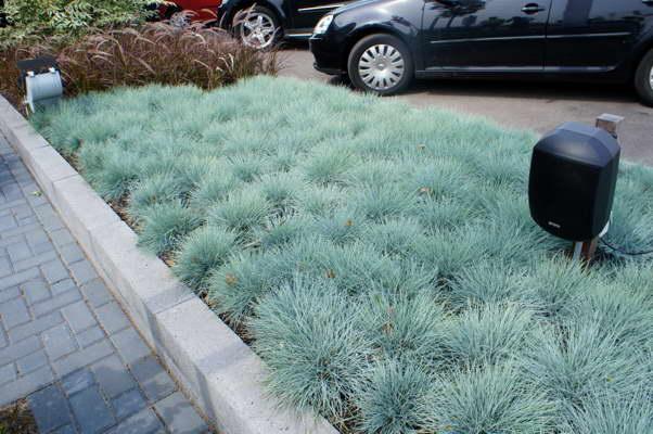 Овсяница голубая посадка и уход Фото в городском ландшафте