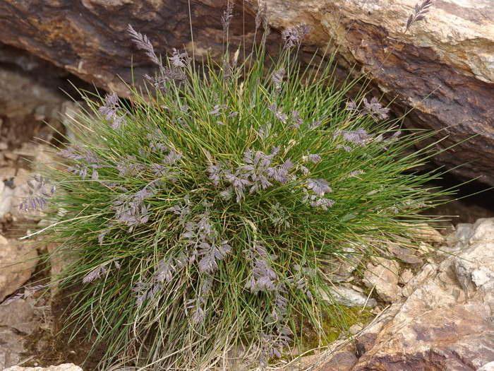 Овсяница ледниковая Festuca glacialis фото