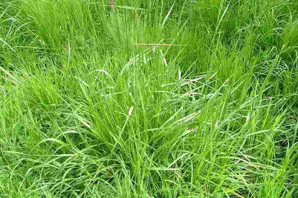Овсяница тростниковая Festuca arundinacea фото
